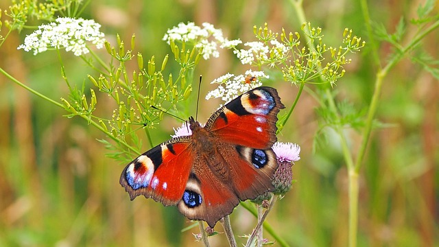 Peacock butterfly image by Esiul via Pixabay
