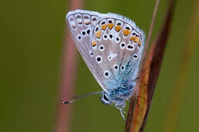 Common Blue - luckily still quite common. Image by Ian Worsley via Flickr.