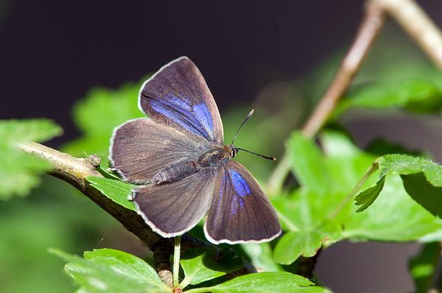 "Purple haistreak - a butterfly of oak woodland. Image by <a href=""https://www.flickr.com/photos/snapperg/5893227539/in/photolist-9YLken-nWNAHm-9y1H5q-JjxTUq-dXESLY-oqeyxT-dXESF1-aSutKR-fTu4FL-r2UGdE-ft2Xh2-rGkFvq-kV5DKK-oqeAmc-9G8gz4-d2k9j7-ajgSZ6-9XZv2c-fJhjCg-GPw8Sm-GPw9tw-NedN1Q-KxxKKr-GPw9dm-QySR5U-GjgMk5-euxp9d-aoKsAw-fbjJpT-fPsDJr-o9BbMD-8mzZiF-cqNVHC-c8fmbd-feGEqK-wmshu1-H8Kjo8-nWNHeD-5zeB9Z-8rjLZT-9Rx6Ty-o6YW93-8gJyxd-MAfkJ-ng1qaS-BdNrnH-fmzCji-a1kZJc-8da4bs-mS6AcH"">Don Sutherland</a> via Flickr."