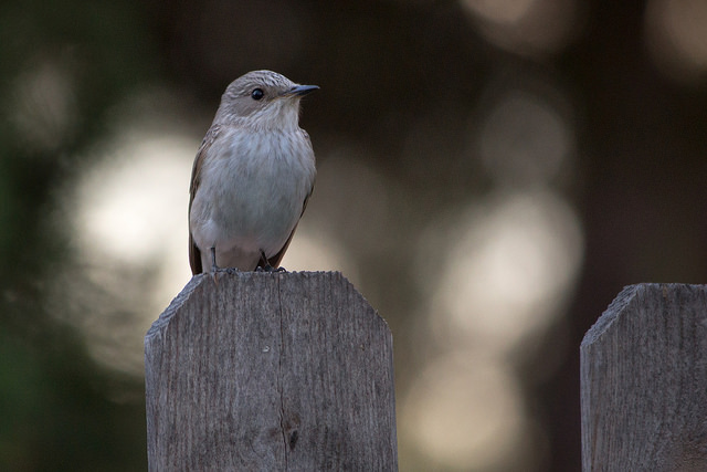 Spotted Flycatcher - another summer visitor to the UK. Image by ninfaj via Flickr.