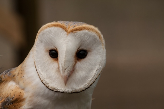 Barn Owl - frequently recorded hunting and calling close to Hiltingbury Road.