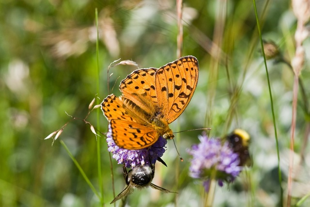 High Brown Fritillary - said by Butterfly Conservation to be Britain's most endangered butterfly.