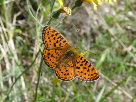 Pearl-bordered Fritillary - one of many species whose larvea feed on violets.