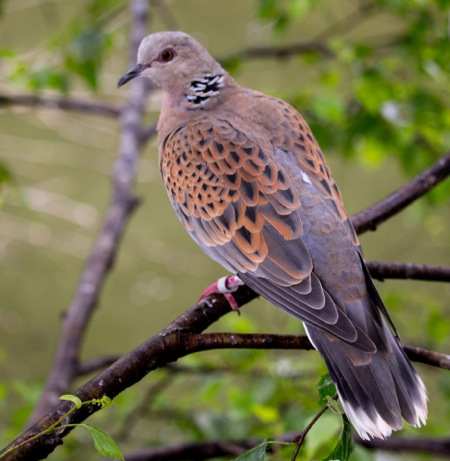 Turtle Dove - a 93% decline in breeding numbers since 1994, probably related to a reduction in their arable weed seed food.