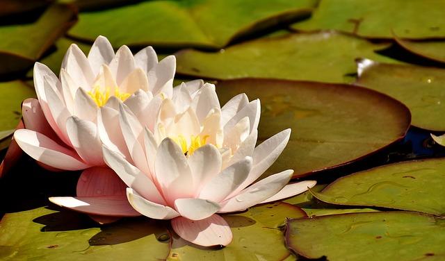 water-lilies Alexas_Fotos