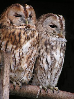 I get to hear owls at home and at Jermyns Lane but rarely see them, image via Pixabay