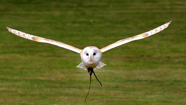 I have been lucky enough to see an owl in flight like this near Braishfield, just around the corner from Jermyns Lane, image via Pixabay