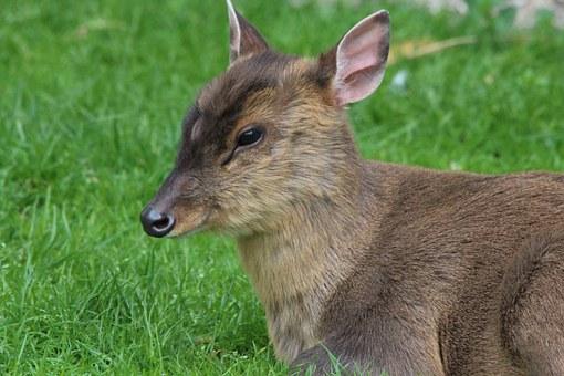 Muntjac deer - image via Pixabay