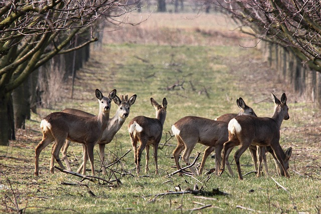 Roe Deer via Pixabay. Given the other UK deer varieties are here too, I'd be surprised if Roe deer are not at Jermyns Lane Woods.