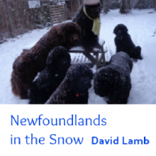 Newfoundlands in the Snow