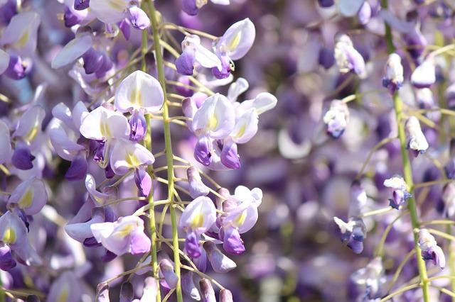 wisteria image via pixabay