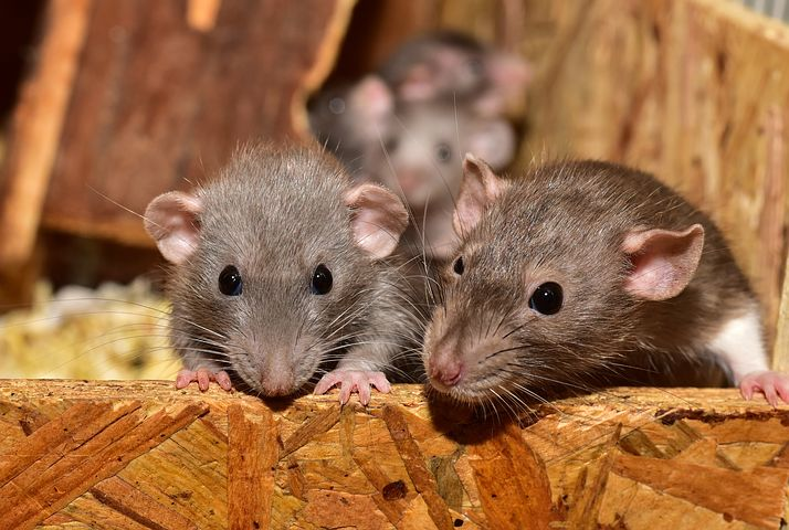 Smart, intelligent and a pain but is that the rat or mankind. Image via Pixabay