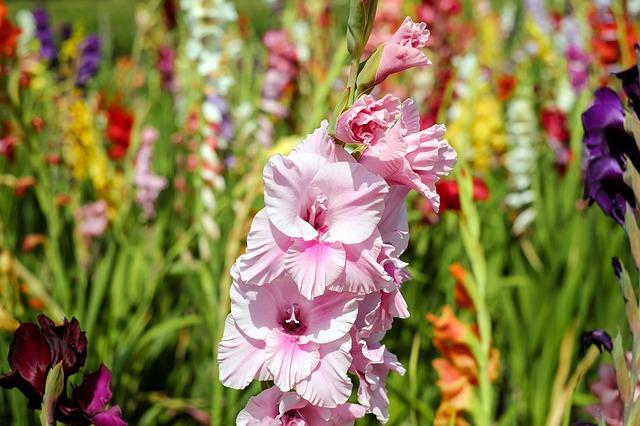 gladiolus via pixabay