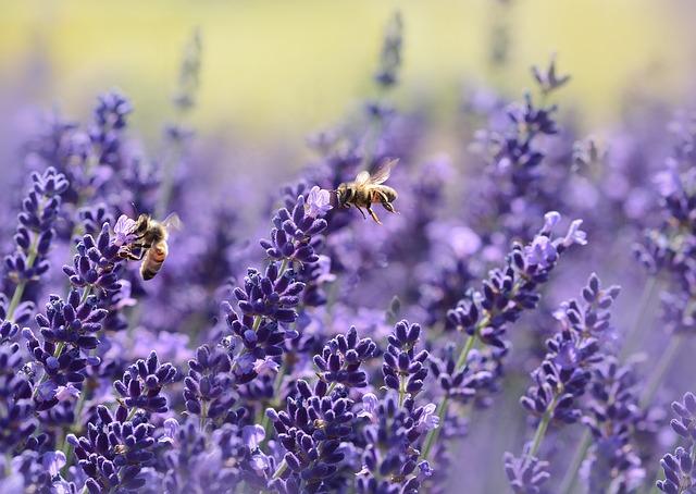 lavendar image via Pixabay