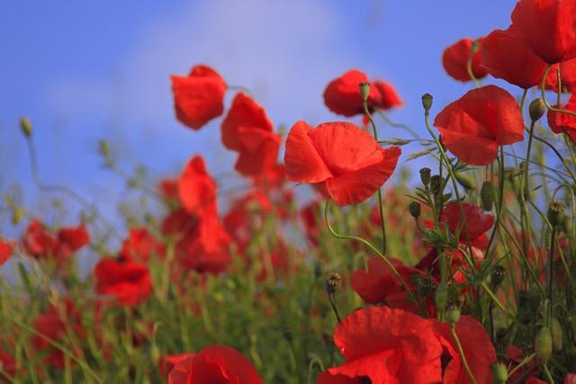 poppy image by Fotomanie voa Pixabay