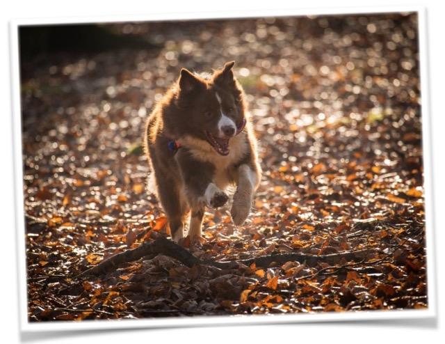 HSAR Dogs