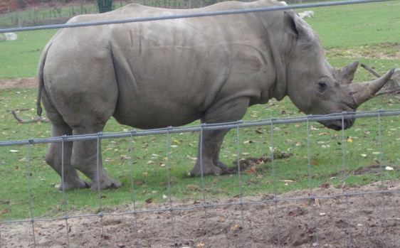 Rhino at Marwell Zoo. Image: David Lamb.