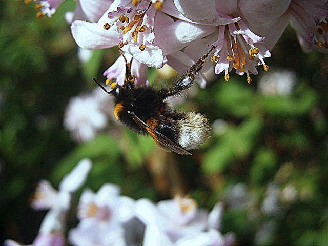 Bee. Pixabay.