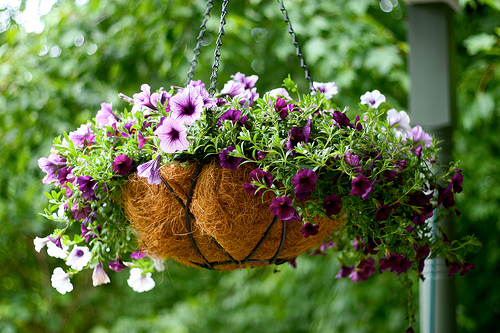 Hanging basket - image by Chiot's Run via Flickr