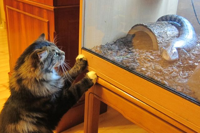Our cat Billy was curious of our lizard, a blue-tongued skink.