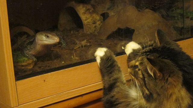 Cat and blue-tongued skink.