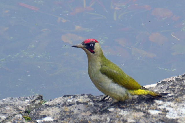 Green Woodpecker. Image by Ian Julian.