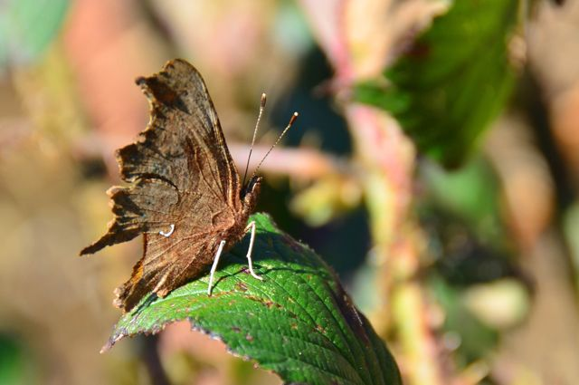 Hocombe Mead butterfly. Image by Ian Julian.