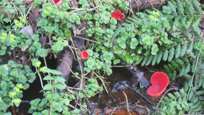 Red fungi in Hocombe Mead.