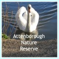 Attenborough Nature Reserve. Mute Swan.