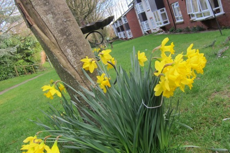 Daffodils in Chandler's Ford.