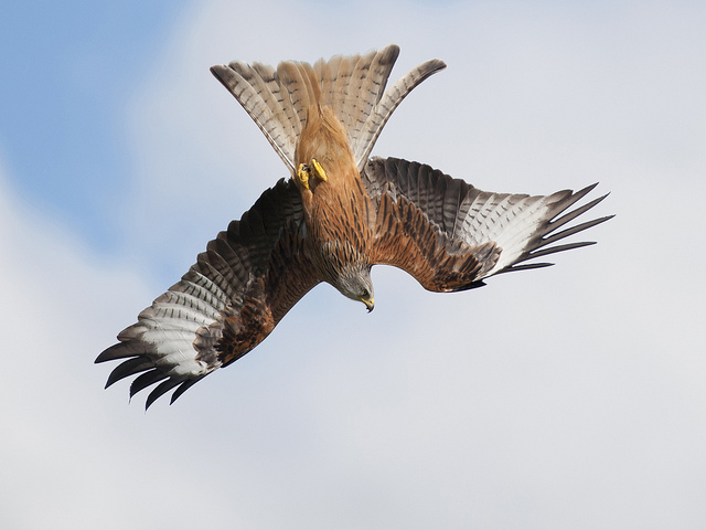 Red Kite, Milvus milvus. Image by Ray Morris via Flickr.
