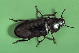 Mealworm turns into this beetle, Tenebrio molitor