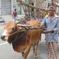Bullock in Sri Lanka