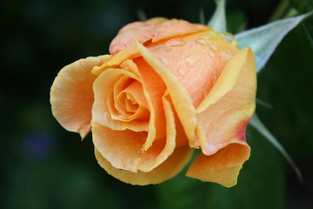 "Roses by <a href=""https://www.flickr.com/photos/31074376@N06/4662488625/in/photolist-871tqV-bwTV-4S87yf-aEtE2s-bDdsx-bddQ3P-mGvLiK-o3x7qd-23mV-4P2NBq-8EmkBP-JJGp4-6kACwg-55jZGH-fb6td-7ML9yW-8q9kyU-6Ft39o-bo2rUx-bo2sxc-bo2s8R-fAM7s7-5XtJ4t-bd9r7Z-55pbE5-6SNfBi-fGtQtN-eMdq12-nw8bKN-9EP6F5-met3Br-dKjmhD-6ccmEK-6t3f63-4REQkD-4jSKL4-7ZqSHT-bqFxgJ-bSgo2-5ET5A2-bSgnX-4Yy1YN-5RjaRk-2UyywX-ecGSCe-4BA7Vy-bSgo1-bSgnW-bSgnZ-89cPrM"">Alex Drennan</a> via Flickr."