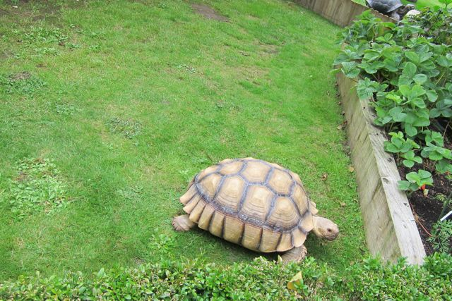 Female tortoise Bruce at Brambridge Park garden centre - attracting some visitors.