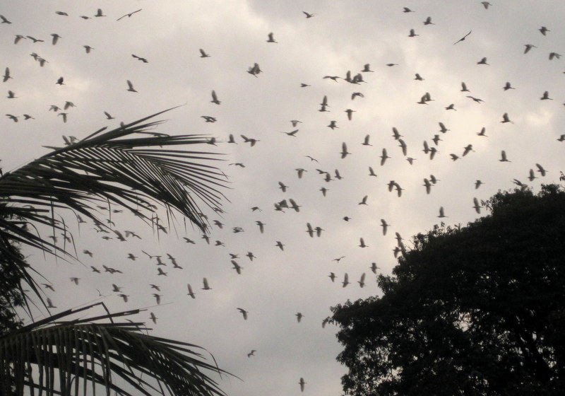 Birds and fruit bats competing for branches, Kandy, Sri Lanka
