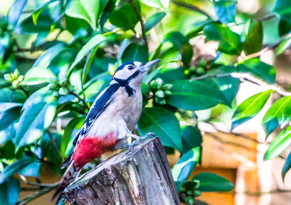 Greater Spotted Woodpecker in Hiltingbury.