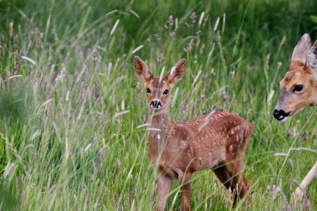 Fawn is back with mum again. Views From My Window by Mark Braggins - deer.