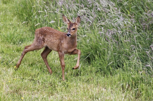The same fawn came really close to the house, presumably looking out for mum. Views From My Window by Mark Braggins - deer.