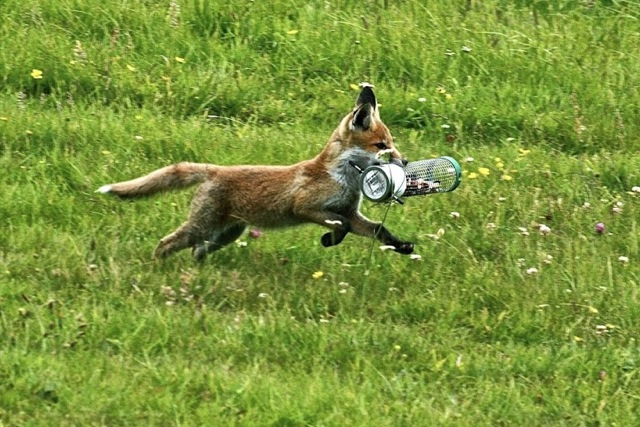 Fox cub running with bird feeder