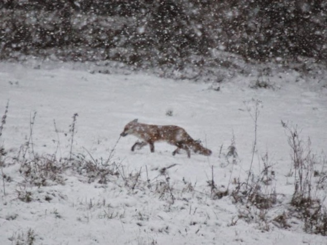 Fox in heavy snow