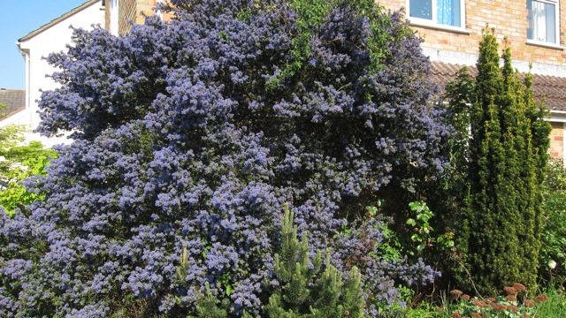 Our out-of-control Ceanothus two summers ago in Chandler's Ford, Eastleigh..