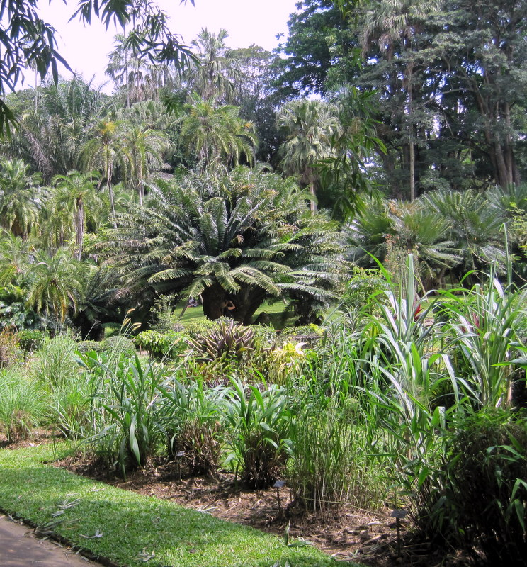 Grove of Cycads in Roayal Botanical Gardens, Kandy, Sri Lanka.