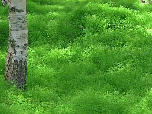 Carpet of Horsetail where a dinosaur could browse. The birch tree in the picture would not have evolved at the time.