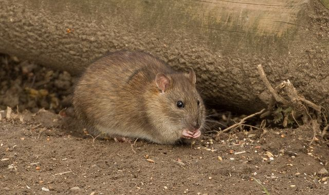 "Brown rat. Image by<a href=""https://www.flickr.com/photos/borderslass/12863098243"">Boderslass</a> via Flickr."