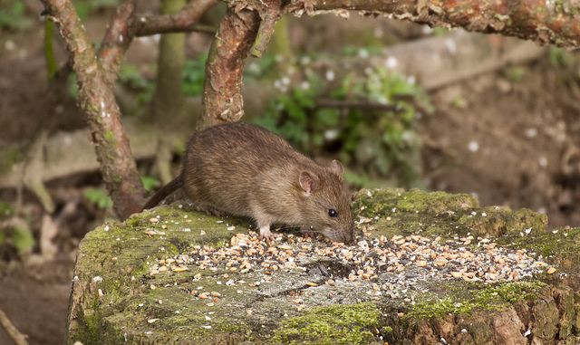 "Brown rat. Image by <a href=""https://www.flickr.com/photos/borderslass/12863445404"">Borderslass</a> via Flickr."
