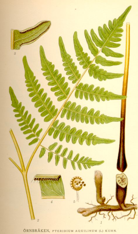 Botanical drawing of Bracken, our commonest fern.