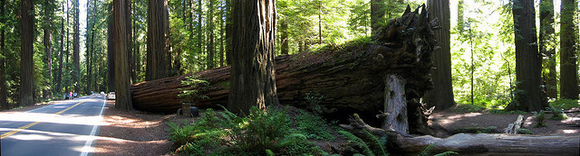 Fallen Redwood in California. The larger trees may be 3500 years old. Flickr-Amitp