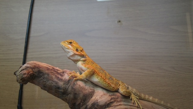 Bearded dragon at Tropic Exotics in Eastleigh.