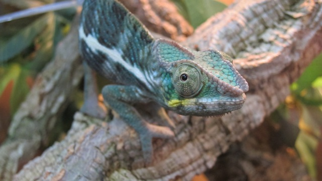 Chameleon at Tropical Exotics Eastleigh.